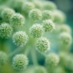 【アロマ】アンジェリカルート精油<br />-植物の特徴・期待される効果効能とは?