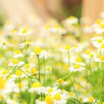 【アロマ】カモミール・ジャーマン精油<br />-植物の特徴・期待される効果効能とは?