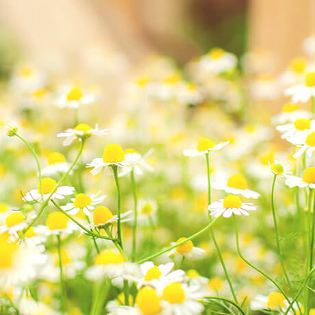 カモミール・ジャーマン(German chamomile)