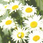 カモミール・ローマン(Roman chamomile)