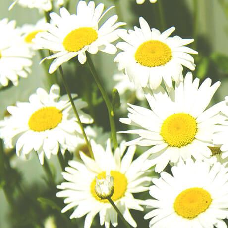 【アロマ】カモミール・ローマン精油<br />-植物の特徴・期待される効果効能とは?