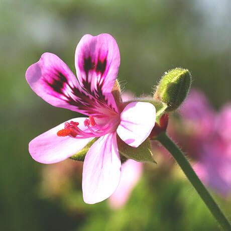 【アロマ】ゼラニウム精油<br />-植物の特徴・期待される効果効能とは?
