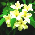 【アロマ】ジャスミン・アブソリュート<br />-植物の特徴・精油に期待される効果効能とは?