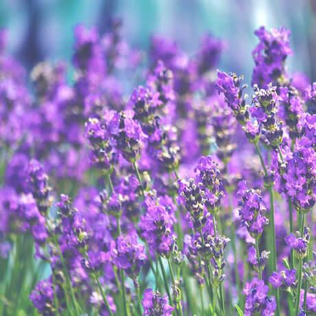 ラベンダー(lavender)