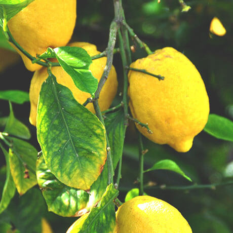 レモン(檸檬/lemon)