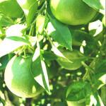 【アロマ】ライム精油<br />-植物の特徴・期待される効果効能とは?