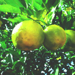 【アロマ】ベルガモット精油<br />-植物の特徴・期待される効果効能とは?