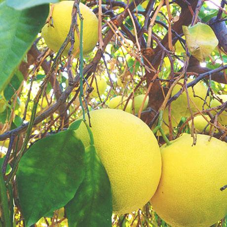 グレープフルーツ(Grapefruit)
