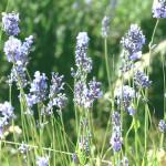 【アロマ】ラバンジン(ラバンディン)精油<br />-植物の特徴・期待される効果効能とは?