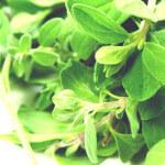 【アロマ】スイート・マジョラム精油<br />-植物の特徴・期待される効果効能とは?