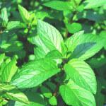 【アロマ】ペパーミント精油<br />-植物の特徴・期待される効果効能とは?