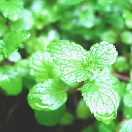 【アロマ】スペアミント精油<br />-植物の特徴・期待される効果効能とは?