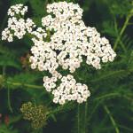 【アロマ】ヤロウ精油<br />-植物の特徴・期待される効果効能とは?