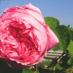 【アロマ】ローズ・アブソリュート<br />-植物の特徴・期待される効果効能とは?