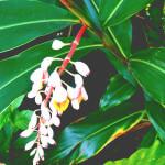 【アロマ】月桃/ゲットウ精油<br />-植物の特徴・期待される効果効能とは?