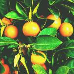 【アロマ】マンダリン精油<br />-植物の特徴・期待される効果効能とは?