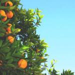 【アロマ】プチグレン精油<br />-植物の特徴・精油に期待される効果効能とは?