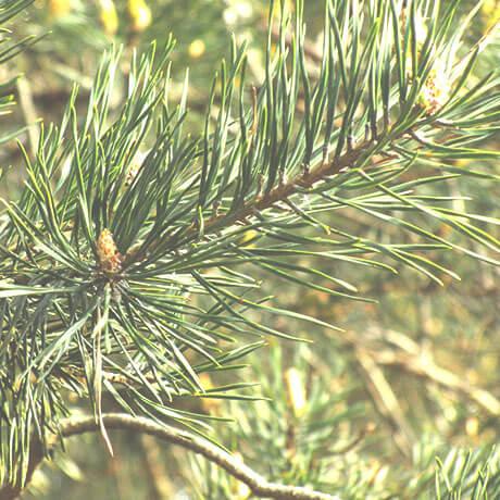 スコッチ・パイン(Scotch pine)