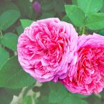 ローズオットー(Rose otto)