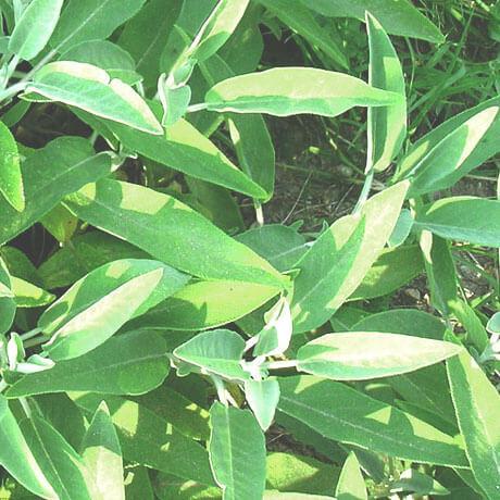 コモンセージ(Common Sage)