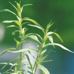 【アロマ】タラゴン/エストラゴン精油<br />-植物の特徴・期待される効果効能とは?