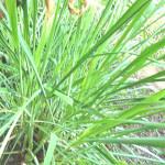 【アロマ】シトロネラ精油<br />-植物の特徴・期待される効果効能とは?