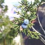 【アロマ】ジュニパーベリー精油<br />-植物の特徴・期待される効果効能とは?