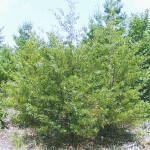 シダーウッドバージニアン(Juniperus Virginiana)