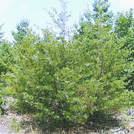 【アロマ】シダーウッド・バージニアン/レッドシダー精油<br />-植物の特徴・期待される効果効能とは?