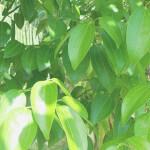 シナモン・リーフ(Cinnamon Leaf)