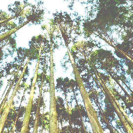 ヒノキ(檜)