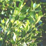 ローレル(ベイリーフ/月桂樹)精油<br />アロマ・エッセンシャルオイルと期待される効果効能紹介