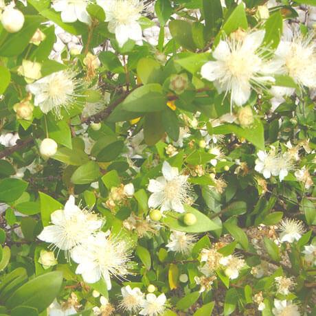【アロマ】マートル精油<br />-植物の特徴・期待される効果効能とは?