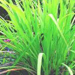 パルマローザ(Palmarosa)