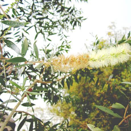 【アロマ】カユプテ精油<br />-植物の特徴・期待される効果効能とは?
