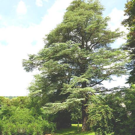 【アロマ】シダーウッド・アトラス/ホワイトシダー精油<br />-植物の特徴・期待される効果効能とは?