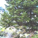 【アロマ】サイプレス精油<br />-植物の特徴・期待される効果効能とは?