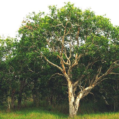 【アロマ】ニアウリ・シネオール精油<br />-植物の特徴・期待される効果効能とは?