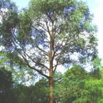 ユーカリ・ラディアータ(Eucalyptus radiata)