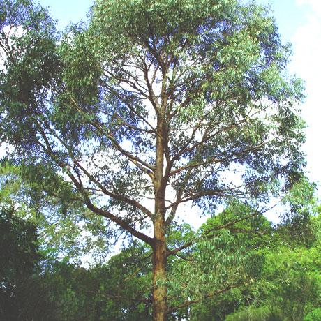 【アロマ】ユーカリ・ラディアータ精油<br />-植物の特徴・期待される効果効能とは?