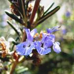 【アロマ】ローズマリー・シネオール精油<br />-植物の特徴・期待される効果効能とは?