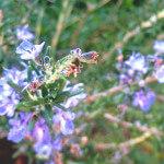 ローズマリー・ベルベノン(Rosemary ct.Vervenone)