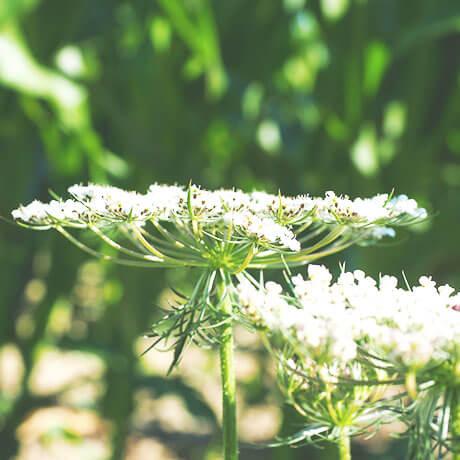 【アロマ】キャロットシード精油<br />-植物の特徴・期待される効果効能とは?