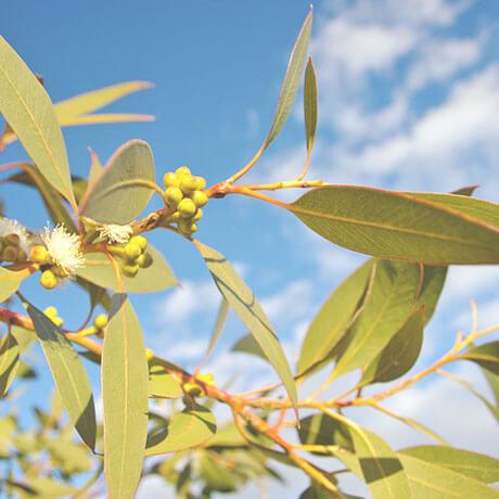 【アロマ】ユーカリ・ディベス/ペパーミントユーカリ精油<br />-植物の特徴・期待される効果効能とは?