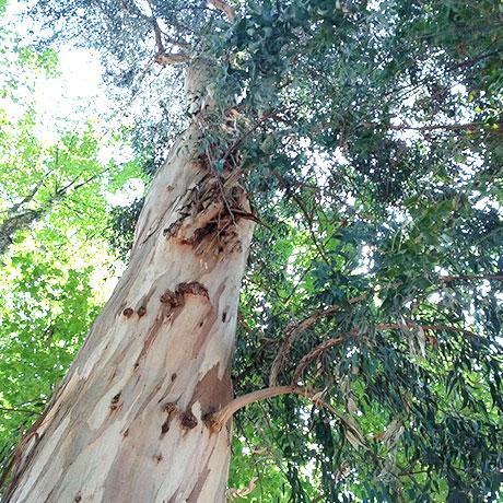 【アロマ】ユーカリ・グロブルス精油<br />-植物の特徴・期待される効果効能とは?