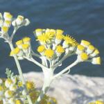 【アロマ】ヘリクリサム/イモーテル精油<br />-植物の特徴・期待される効果効能とは?