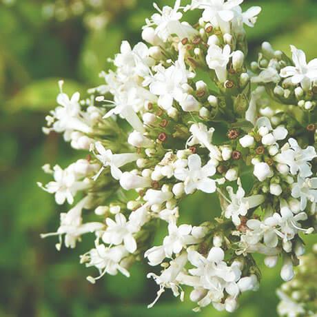 【アロマ】バレリアン精油<br />-植物の特徴・期待される効果効能とは?