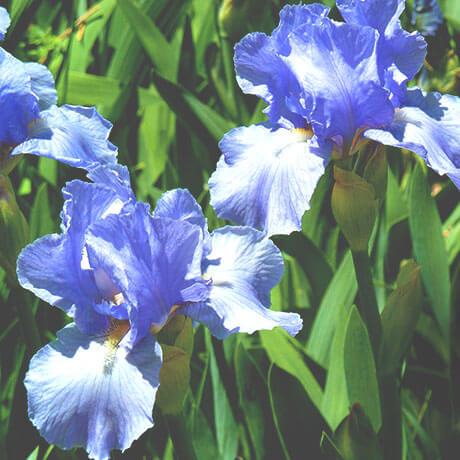 イリス/アイリス(Iris)