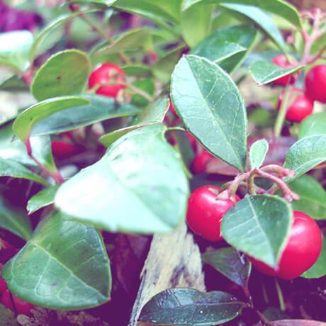 【アロマ】ウインターグリーン精油/冬緑油<br />-植物の特徴・期待される効果効能とは?