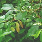 【アロマ】ホーリーフ(芳樟)精油<br />-植物の特徴・期待される効果効能とは?